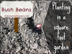 Bush Beans in a square foot garden